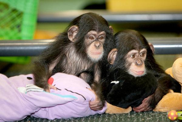 chimps_blankets.jpg