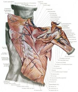 Penkopf_Atlas Human Anatomy_neck-shoulder