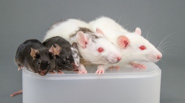 Chimeras -- Mice-Rats
